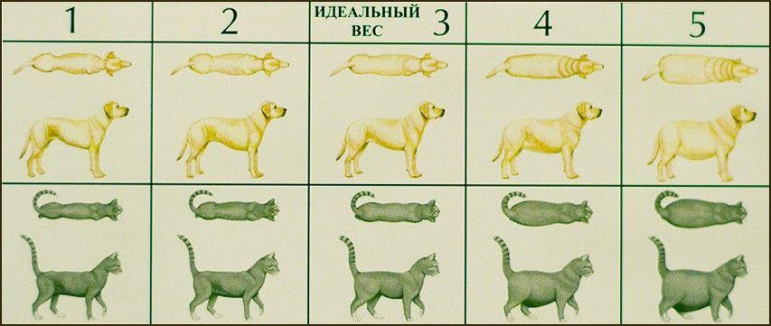 схема определения ожирения животного