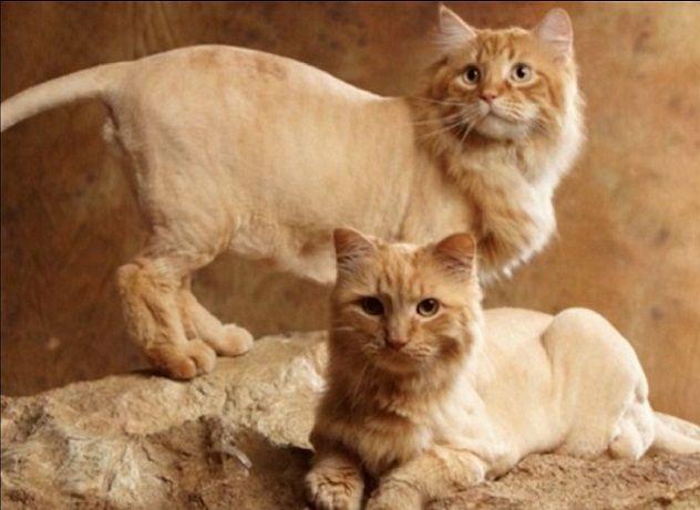 кошачья стрижка