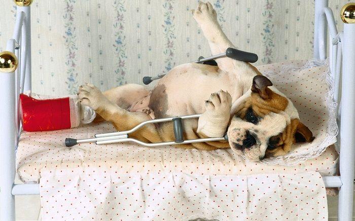 Перелом у собаки фото