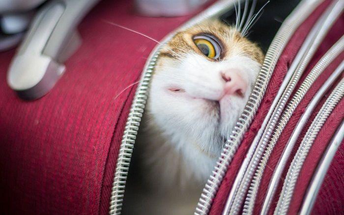 кошка в самолете фото