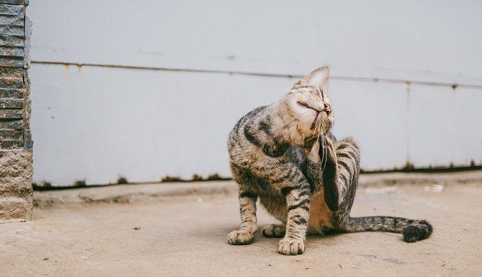 кошка чешется фото
