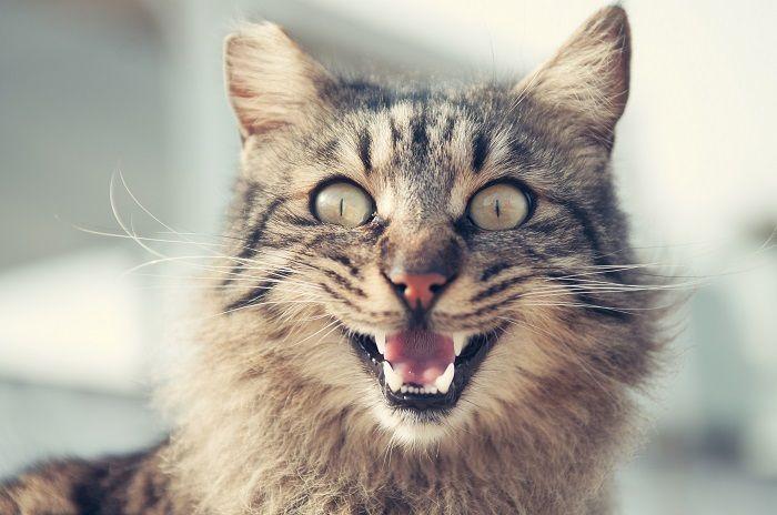 кошка с открытым ртом фото