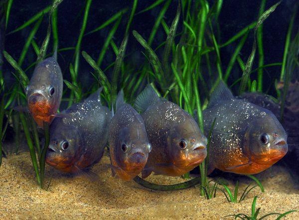 пираньи аквариумные фото