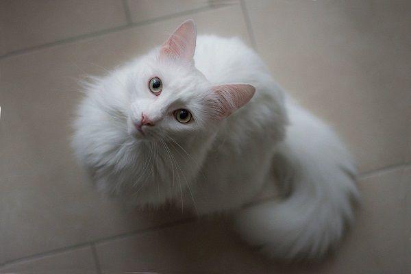 кошка с белой шерстью фото