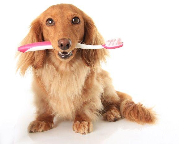 собака с зубной щеткой фото