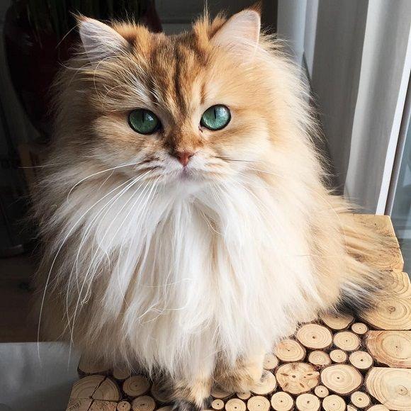 кот домашний