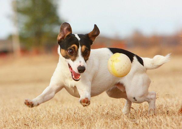 собака играет с мячиком