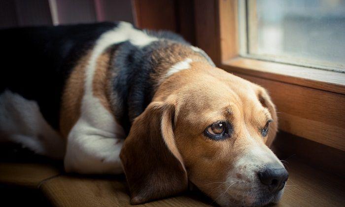 собака скучает дома